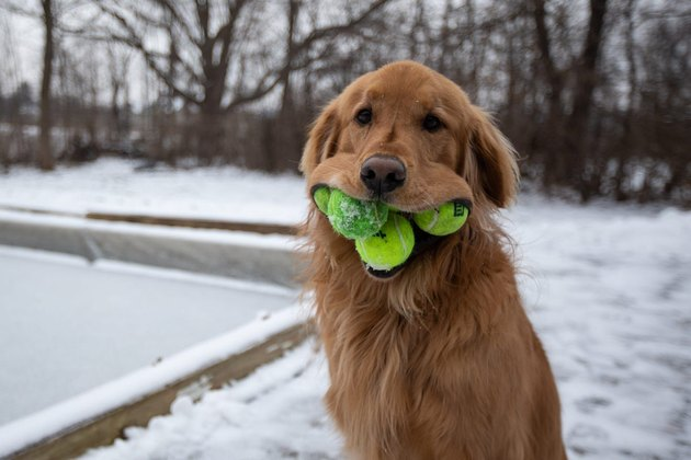 dog with tennis balls in its mouth