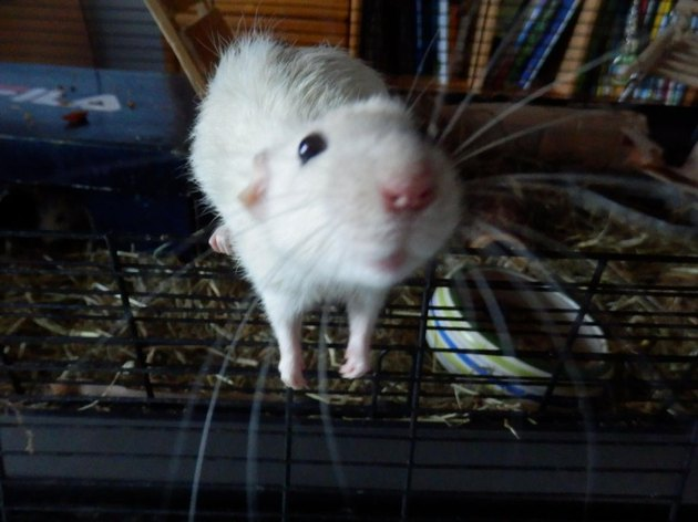 rat with cute nose