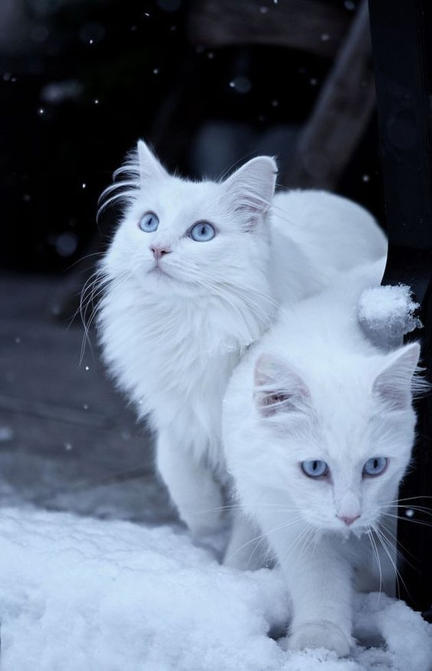 Two white cats in the snow