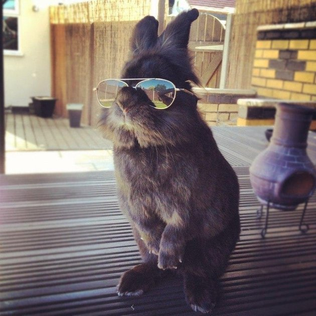 Rabbit wearing sunglasses.