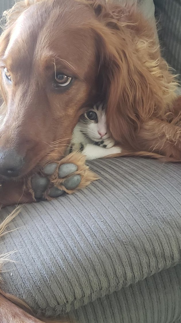 Kitten curled underneath dog's ear