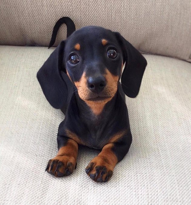 Dachshund puppy looking at camera