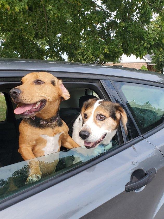 Dogs enjoying a car ride