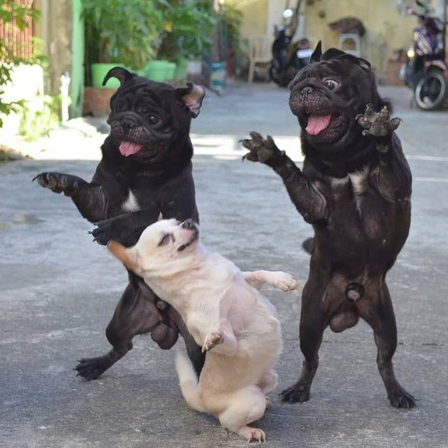 Three dogs standing on their back legs
