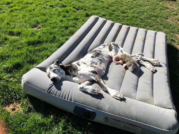 Great Dane on an air mattress in the sun