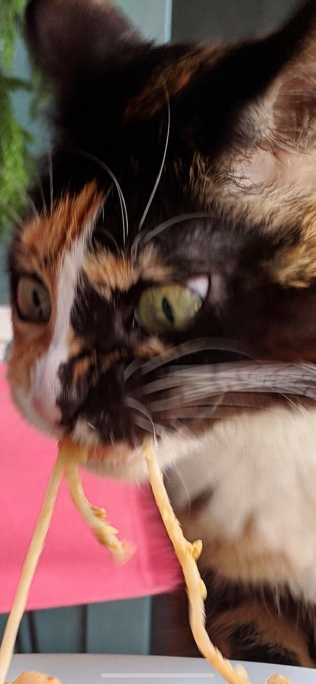 Cat eats spaghetti from owner's plate