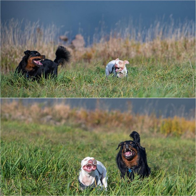 Two dogs running through a field