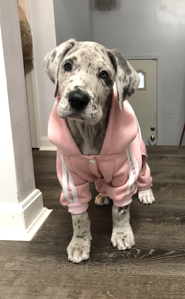 Great Dane puppy in a tracksuit