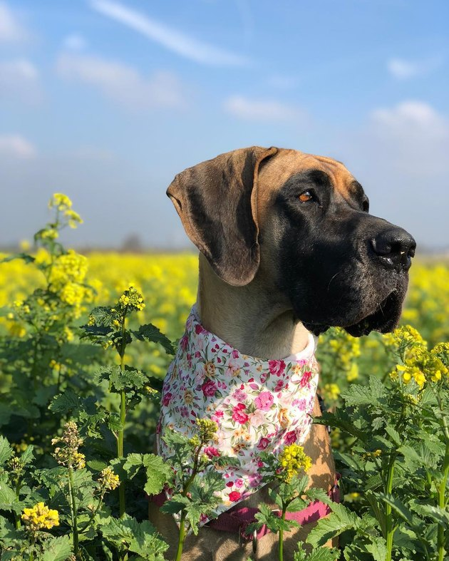 Great Dane in a field of flowers
