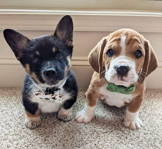 Two puppies wearing bow ties
