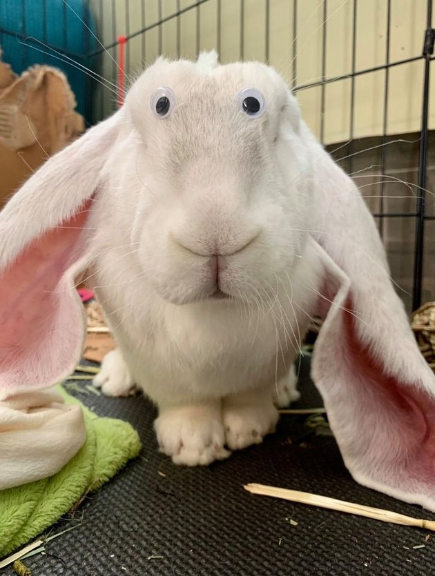 rabbit with googly eyes