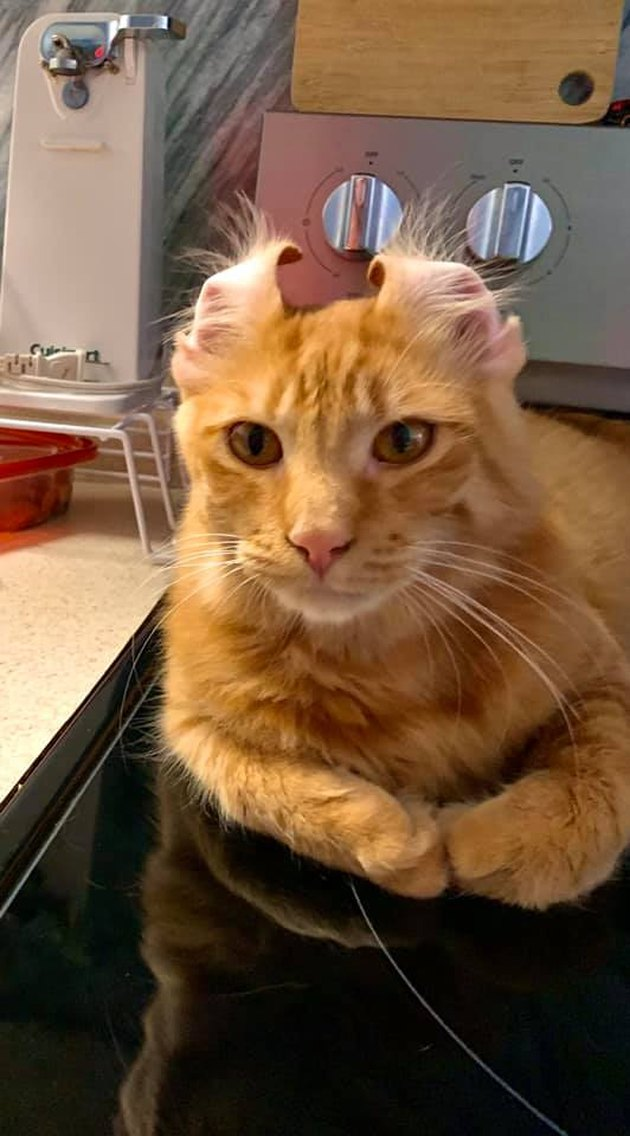 orange cat with ears pinned back