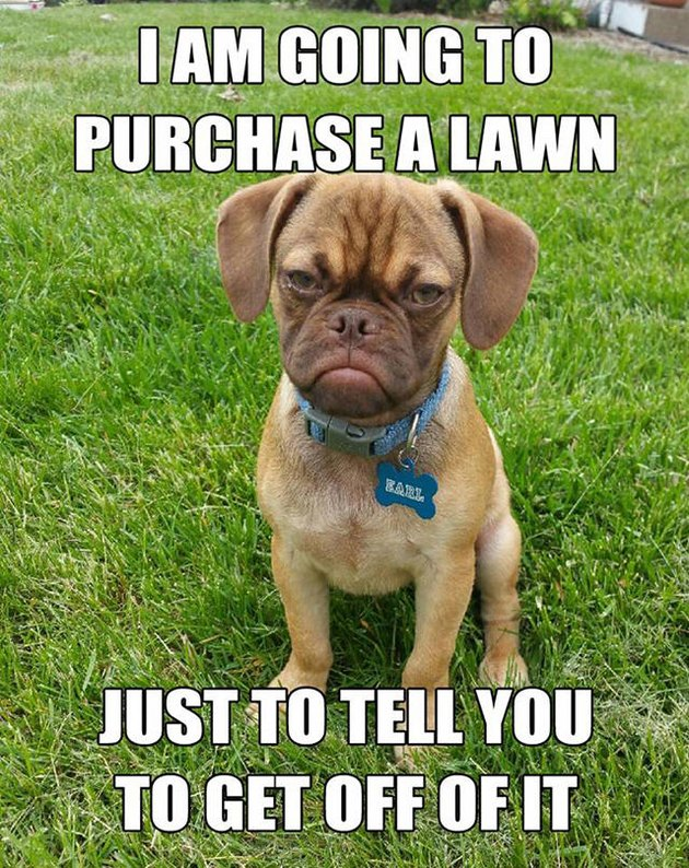 "Grumpy looking dog with a caption that says ""I am going to purchase a lawn just to tell you to get off of it."""