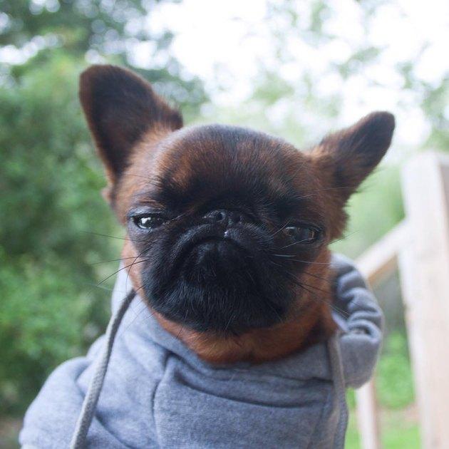 Grumpy looking dog in a hoodie.