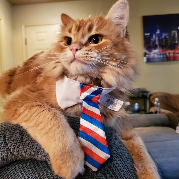 Cat in a red, white, and blue striped tie.