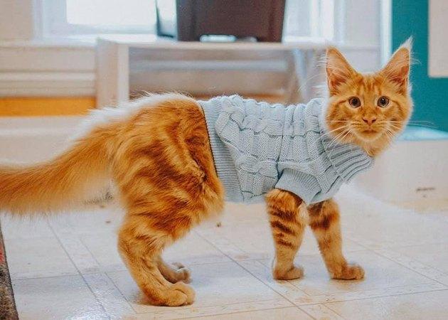 Cat in a preppy sweater