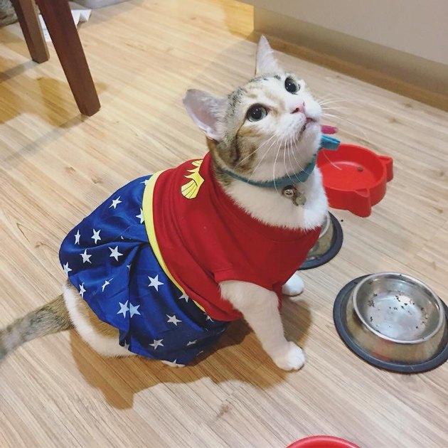 Cat in a Wonder Woman costume