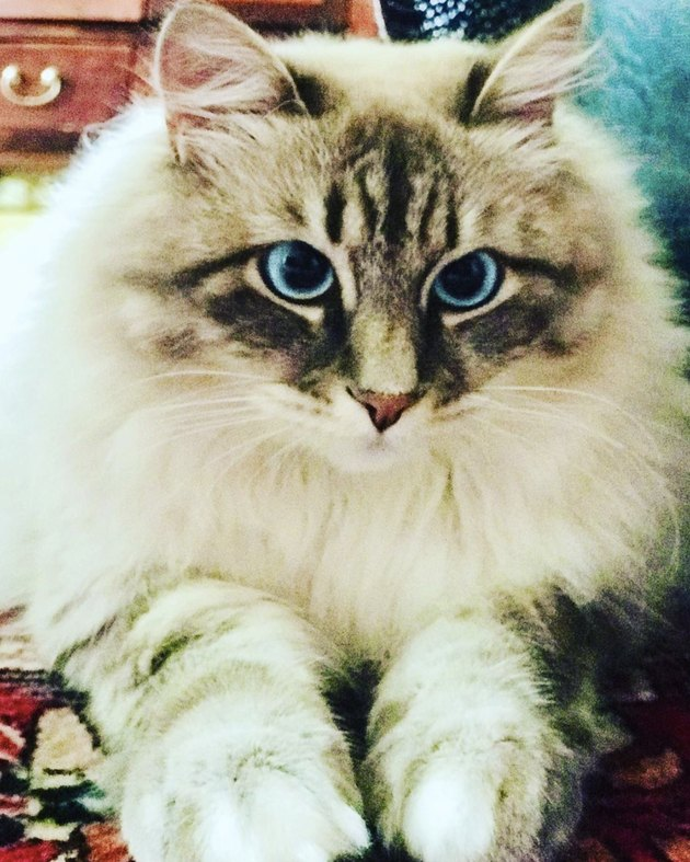 fluffy blue eyed cat