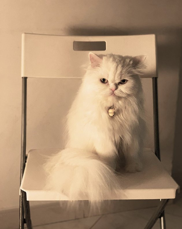 fluffy white cat on chair