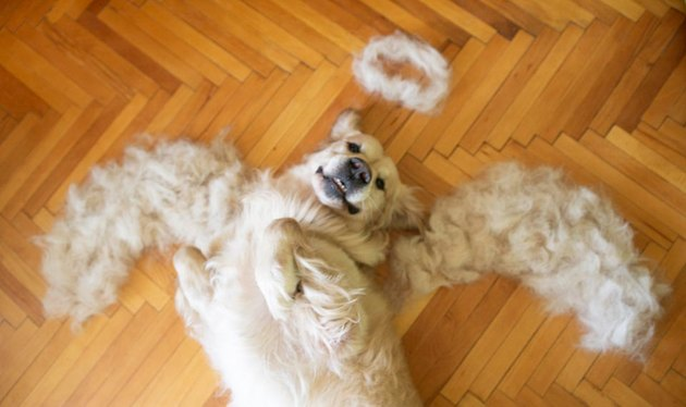 Dog lying on its back with wings and halo made out of shed fur