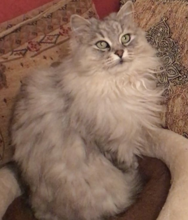 fluffy gray cat