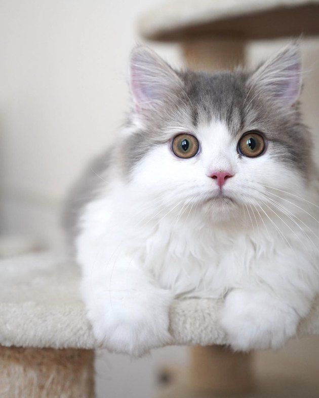 fluffy little cat