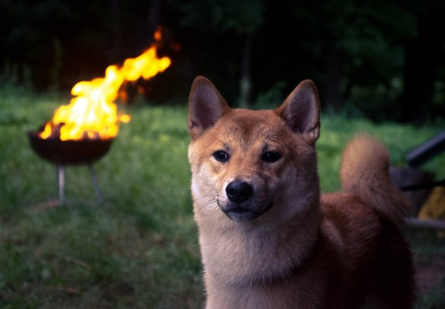 Shiba Inu in front of burning barbecue.