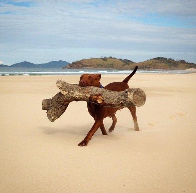 dog on beach carries big log