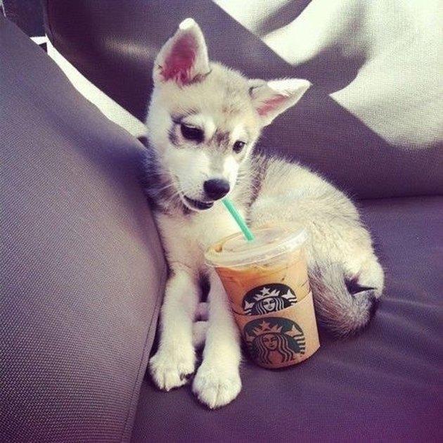 Cute husky pup with an iced coffee