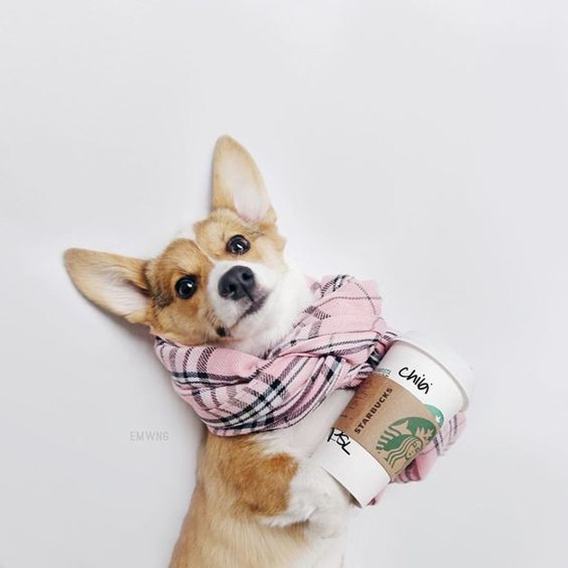 Corgi in a scarf and she has a coffee cup