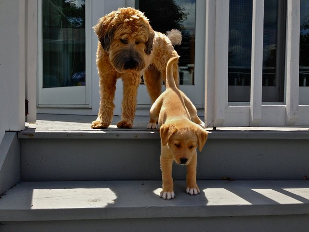 Dog watching puppy go down stairs.