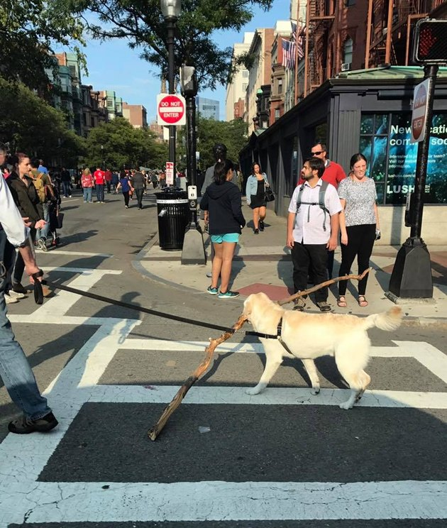 dog walks down streets of Boston with giant stick