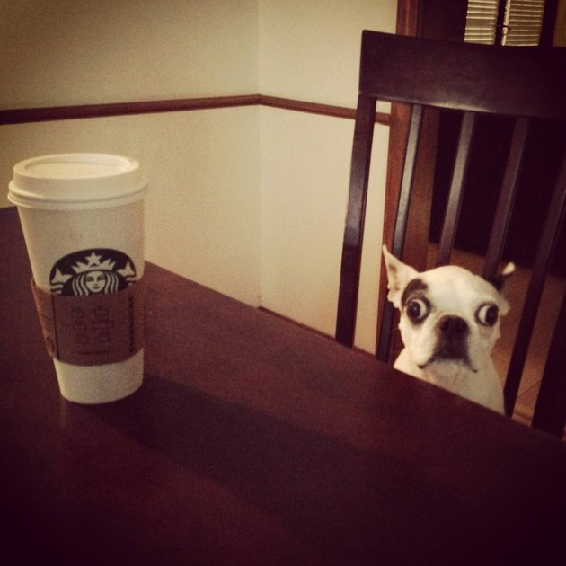 Alert dog with a cup of coffee