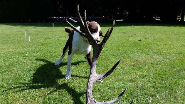 dog drags antlers in mouth
