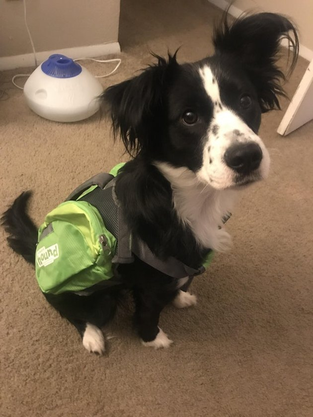 Dog wearing a backpack.