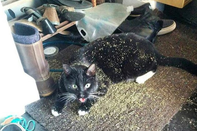 cat on catnip