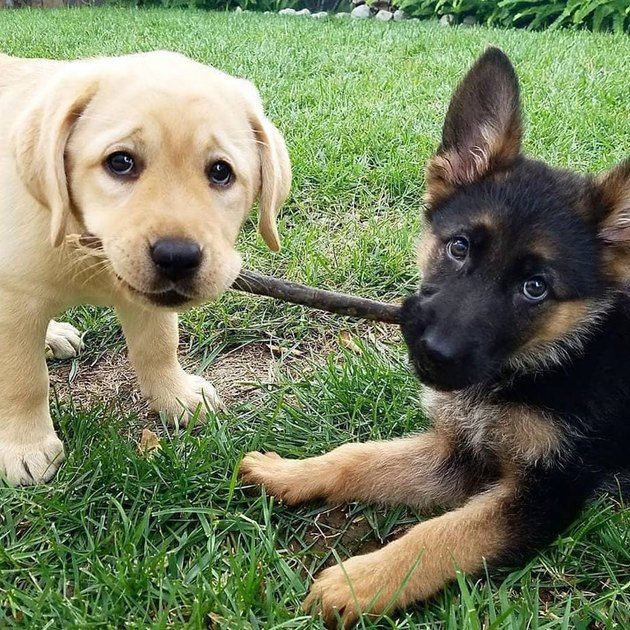 puppies hold stick together