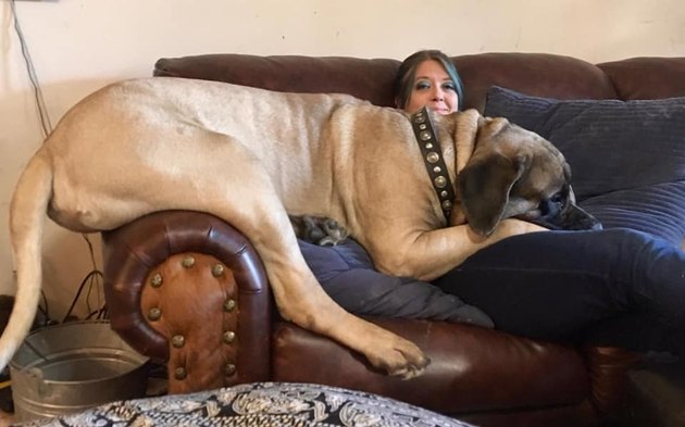 big dog splayed across person on couch