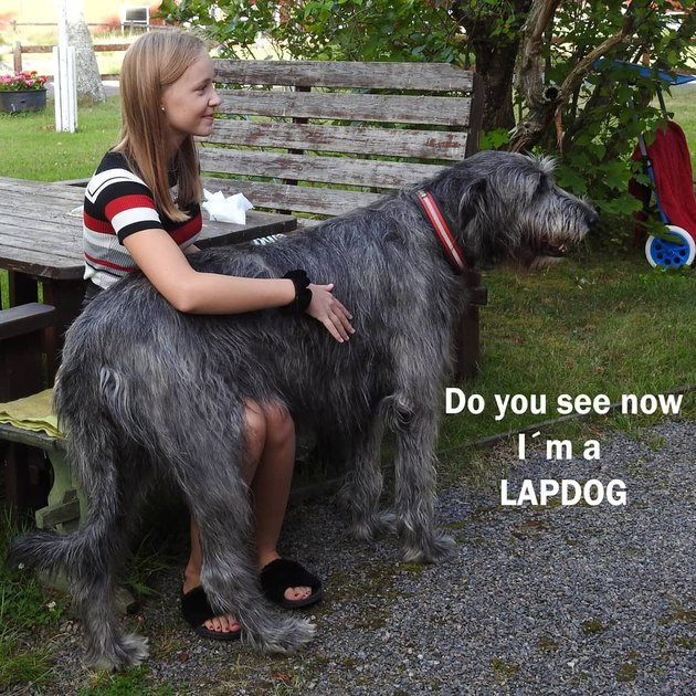 big lap dog