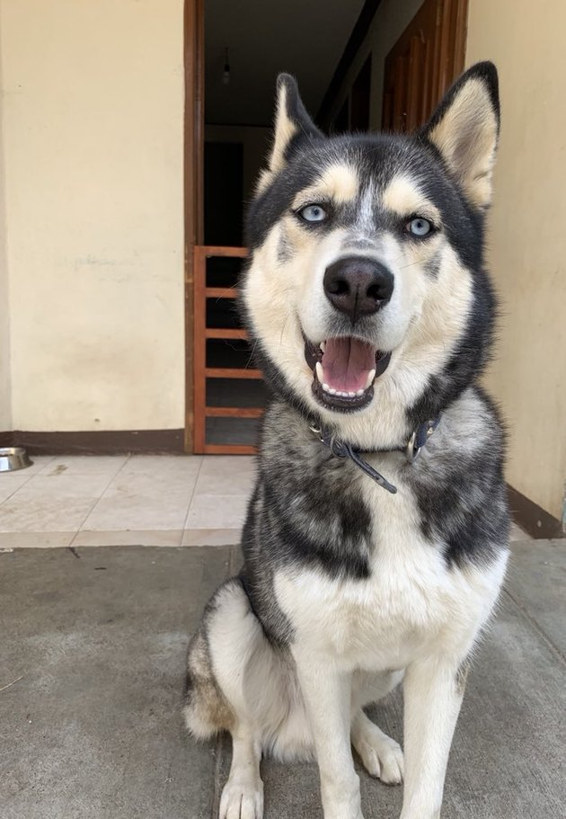 before and after pics show grumpy husky all grown up