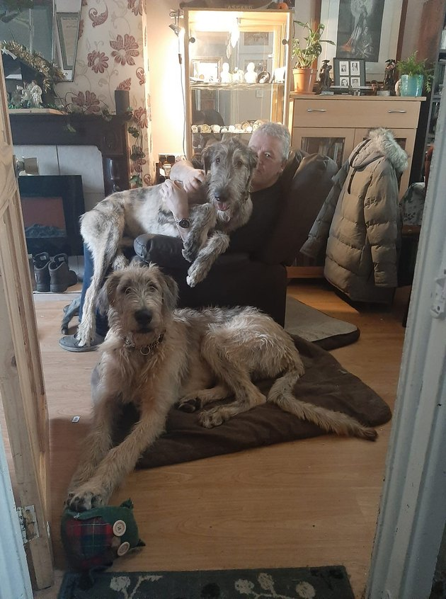 giant dogs cuddle with man in recliner
