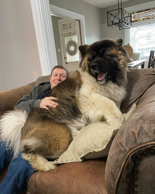 giant dog sits on man