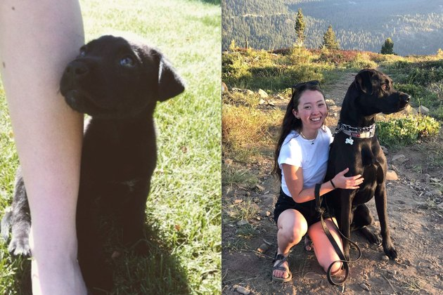 before and after pics show black lab puppy all grown up