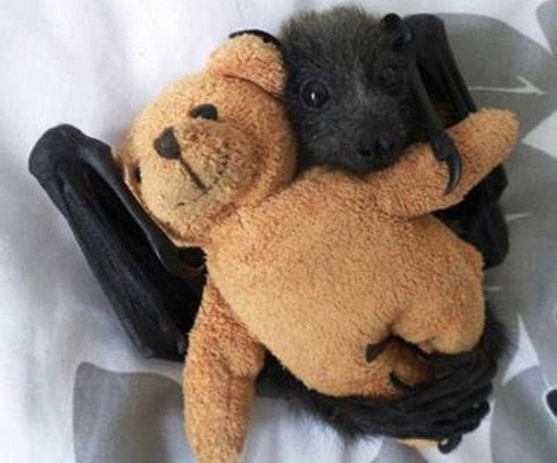 Baby bats are really, really, ridiculously cute looking