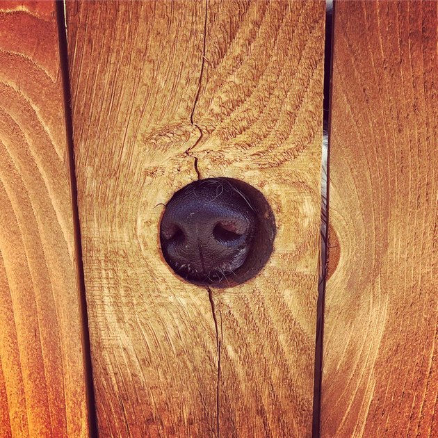 Dog's nose in small hole in wooden fence.