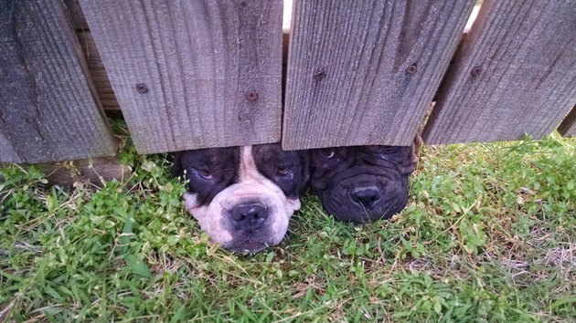 Dogs looking under wooden fence.