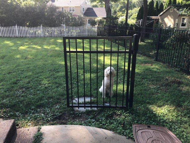 Dog standing behind unconnected metal gate.