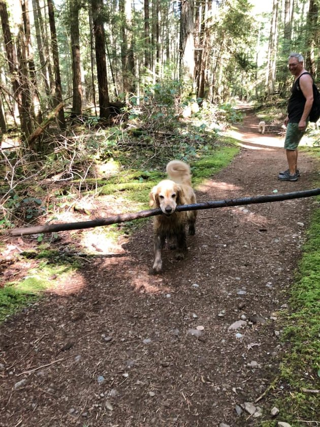 golden retriever carries big stick