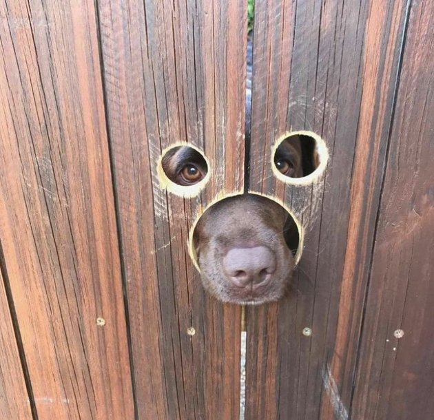 Dog looking through holes in wooden fence.