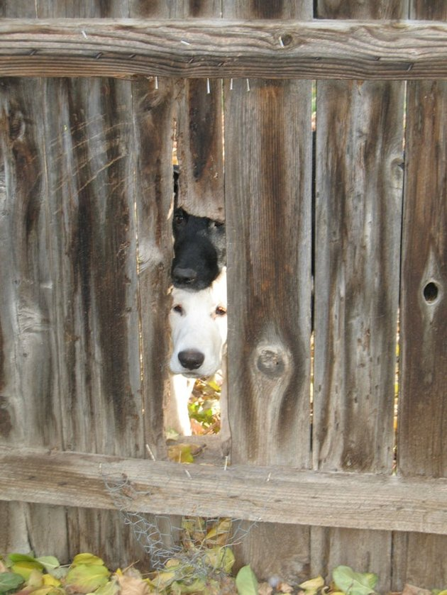 Dog looking through hole in wooden fence.